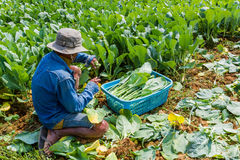 A gardener planting Chinese kale vegetable. Royalty Free Stock Photography