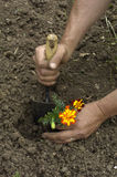 Gardener is planting a flower in a garden Royalty Free Stock Image