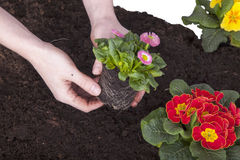 Gardener planting  flowers Stock Photo