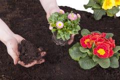 Gardener planting  flowers Stock Image