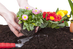 Gardener planting  flowers Stock Photography