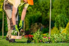 Gardener Planting Flowers. Caucasian Gardener Preparing and Planting Flowers During Sunny Spring Day. Garden Works royalty free stock photos