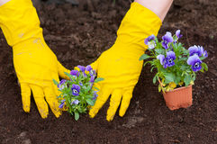 Gardener planting the flowers Royalty Free Stock Photo