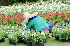 Gardener planting flowers Royalty Free Stock Photo
