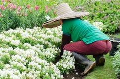 The gardener planting flowers Stock Images