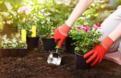 Gardener planting flowers in the garden, close up photo. Gardener planting flowers in the garden, close up photo Royalty Free Stock Photos
