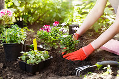 Gardener planting flowers in the garden, close up photo. Gardener planting flowers in the garden, close up photo Stock Photo