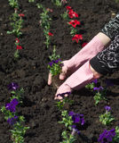 Gardener planting flowers Stock Images