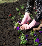 Gardener planting flowers Royalty Free Stock Photo