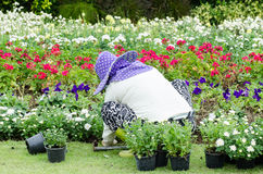 The gardener planting flowers in a garden. For decoration Stock Images