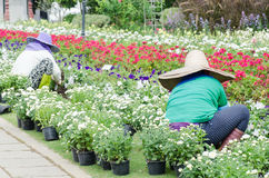 The gardener planting flowers in a garden. For decoration Royalty Free Stock Image