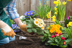 Gardener planting flowers Royalty Free Stock Images