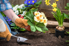 Gardener planting flowers. In pot with dirt or soil at back yard stock photo