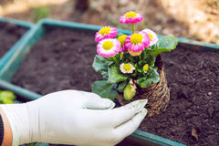 Gardener planting the flowers in spring. Stock Photo