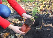 Gardener planting juniper tree sapling with roots and dirt from flowerpot in the garden. Close up stock images