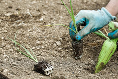Gardener planting leek seedlings Stock Photography