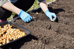Gardener planting onions in the kitchen garden Royalty Free Stock Photography