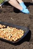 Gardener planting onions in the vegetable garden Stock Photography