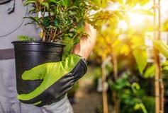 Gardener Planting Plants. Gardener Planting Garden Plants. Caucasian Landscaper with Plant stock image