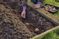 Gardener planting potatoes Royalty Free Stock Photography