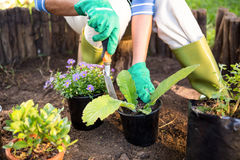 Gardener planting potted plants at garden. Mature female gardener planting potted plants at garden Royalty Free Stock Photo