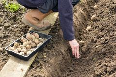 Planting Seed Potatoes on Allotment. Gardener planting seed potatoes in prepared trench - variety is Home Guard Royalty Free Stock Photo