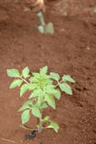 Gardener planting seedlings Stock Images