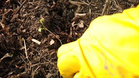 Gardener planting seedlings. Farmer hands planting to soil cabbage seedling in the vegetable garden. Gardener planting seedlings. Farmer hands in yellow rubber stock video footage