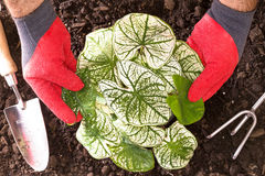 Gardener planting Shades of Innocence Caladium. Gardener transplanting Shades of Innocence Caladium into the garden holding the ornamental plant with its Royalty Free Stock Photography