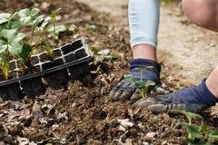 Gardener planting strawberry seedlings in freshly ploughed garden beds stock images