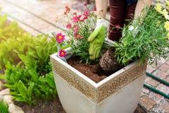 Gardener planting summer flowers in flowerpot outdoors. At home garden royalty free stock photos