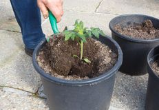 Gardener planting tomato plant in a flowerpot. Gardener planting tomato plant with a garden trowel in a plastic flowerpot royalty free stock images