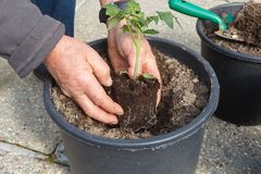Gardener planting tomato plant in a flowerpot. Gardener planting small tomato plant in a plastic flowerpot during spring royalty free stock photography