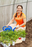 Gardener planting tomato spouts Royalty Free Stock Photography