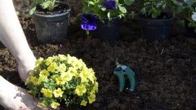 Gardener plants flowers for spring stock video