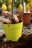 Gardener potting a plant Stock Photo