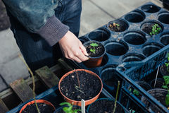 Gardener potting small plants Stock Photography