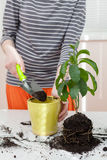 The gardener pours the earth into a pot for transplanting plants. Home gardening relocating house plant Stock Photo