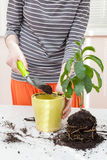 The gardener pours the earth into a pot for transplanting plants. Home gardening relocating house plant Royalty Free Stock Photography