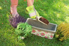 Gardener preparing to plant flowers in pot Stock Image