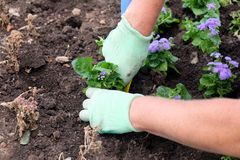 Gardener in protective gloves planting flowers in the garden ground close up Stock Image