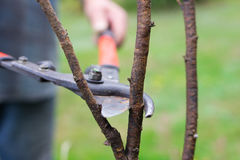 Pruning branch with secateurs Stock Photography