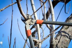 Pruning fruit tree brunch with a pruning shears royalty free stock images