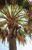 Gardener by pruning the palm tree Royalty Free Stock Photography