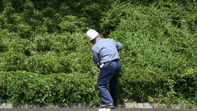 Gardener pruning shrub tree with shears. KAGAWA, JAPAN - MAY 22 : Japanese professional gardener pruning a shrub tree with shears on May 22, 2016, Fudonotaki stock video