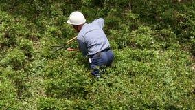 Gardener pruning shrub tree with shears stock video