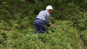 Gardener pruning shrub tree with shears. KAGAWA, JAPAN - MAY 22 : Japanese professional gardener pruning a shrub tree with shears on May 22, 2016, Fudonotaki stock footage
