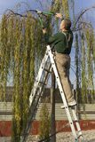 Gardener pruning a tree. Gardener pruning the branches of a willow tree in autumn Stock Images