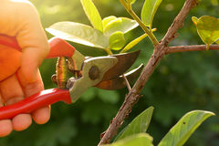 gardener pruning trees with pruning shears Royalty Free Stock Images