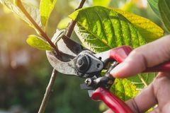 Gardener pruning trees with pruning shears on nature Stock Photo